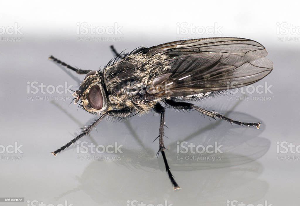 House fly macro profile view royalty-free stock photo