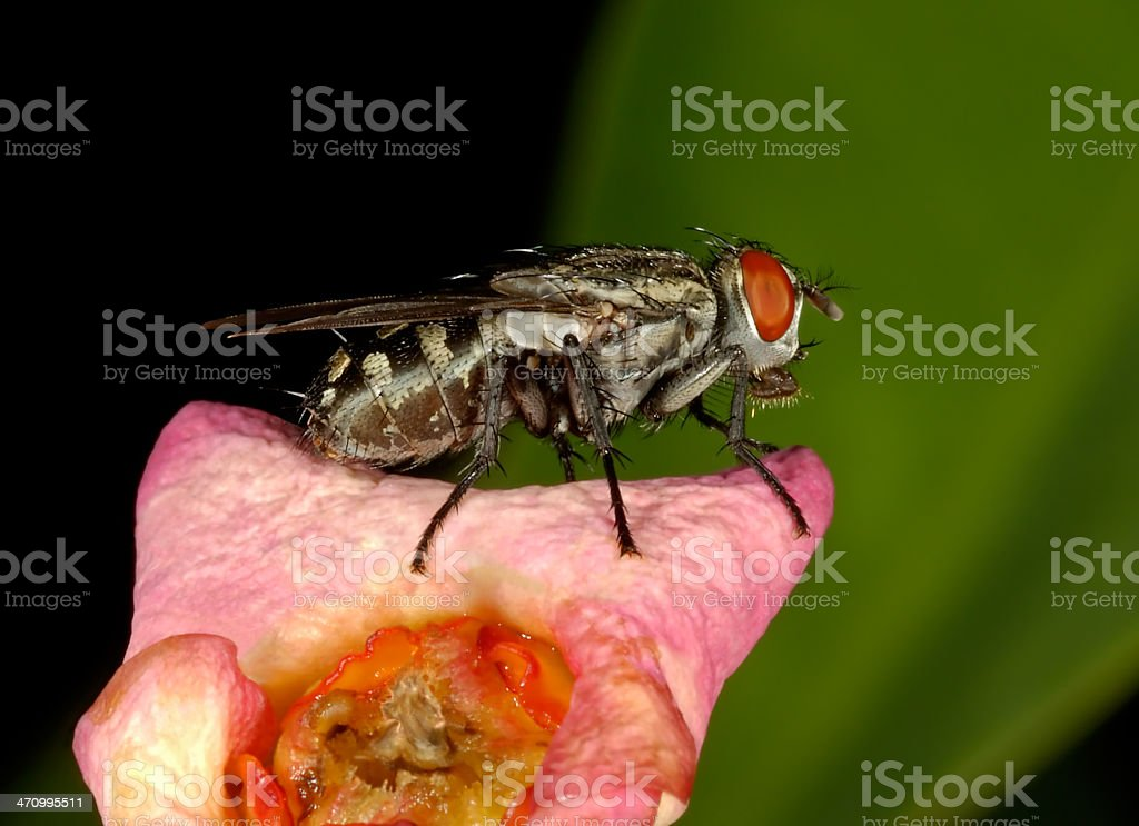 House Fly on Flower royalty-free stock photo