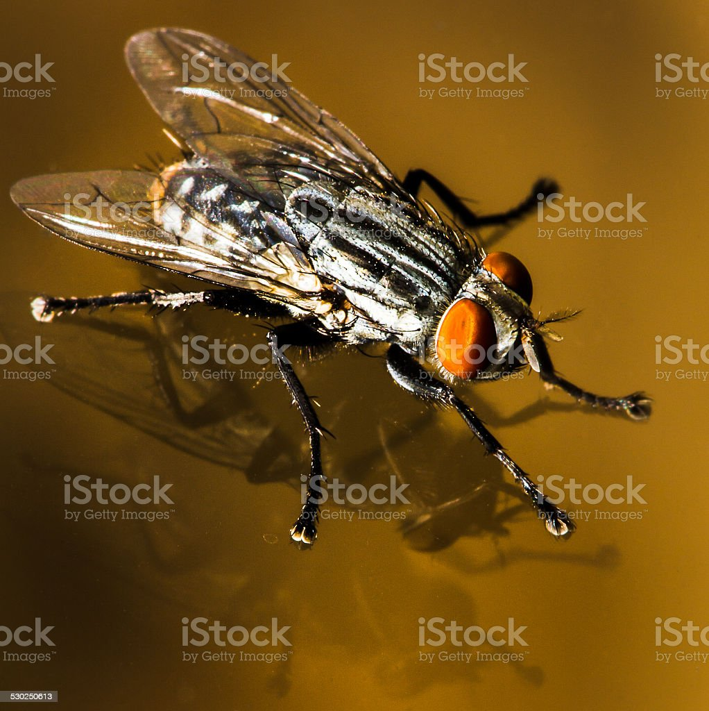 House Fly On Glass Window With Double Reflection stock photo