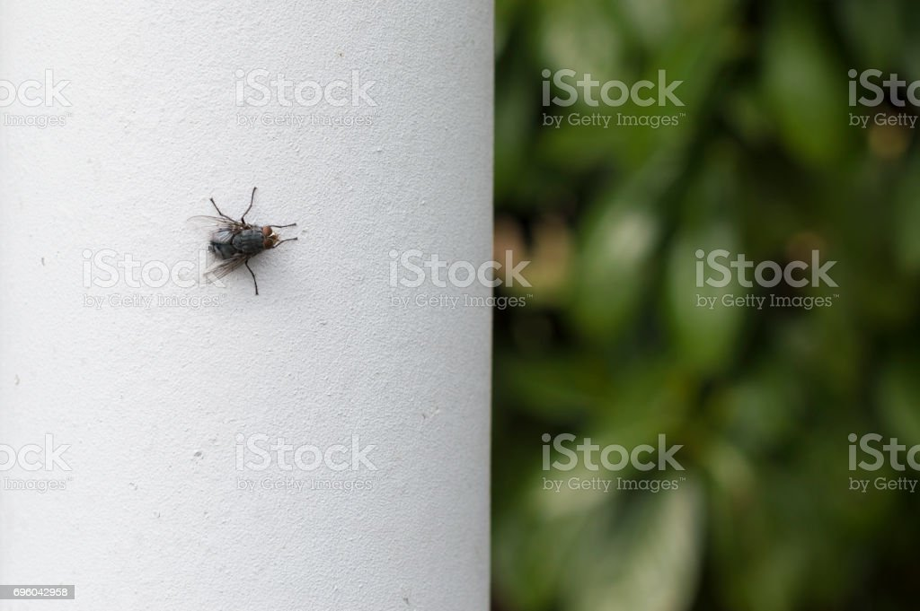 House Fly on white wall stock photo