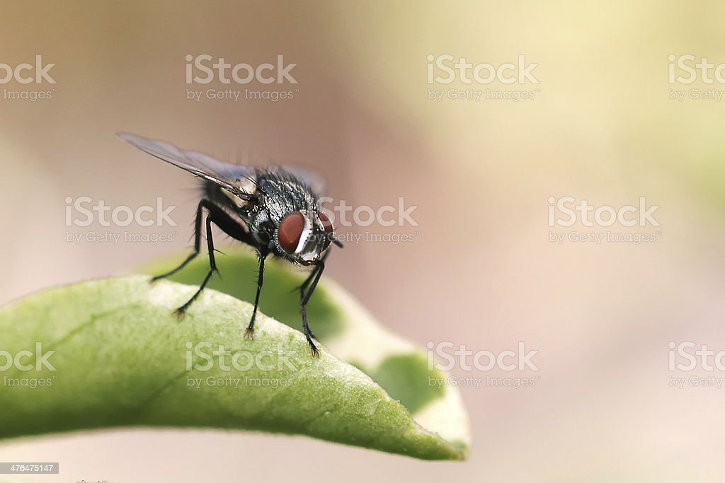 House Fly royalty-free stock photo