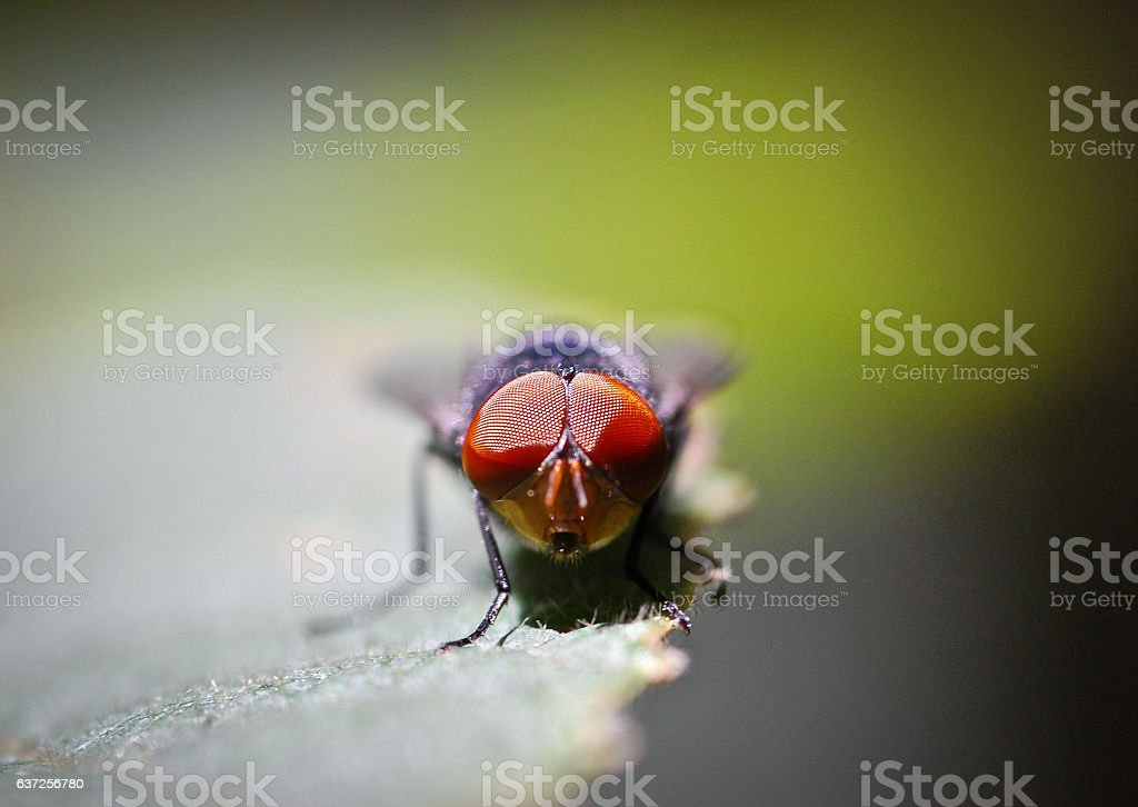 House fly red eye and front macro closeup stock photo