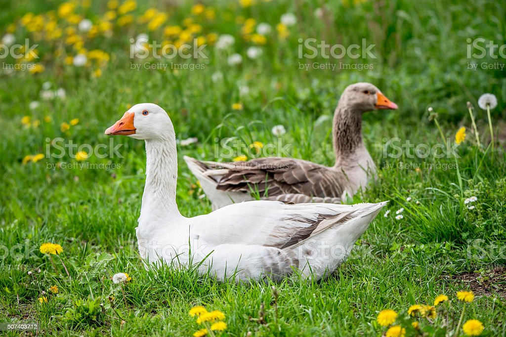 house goose and grey goose lying in the meadow stock photo