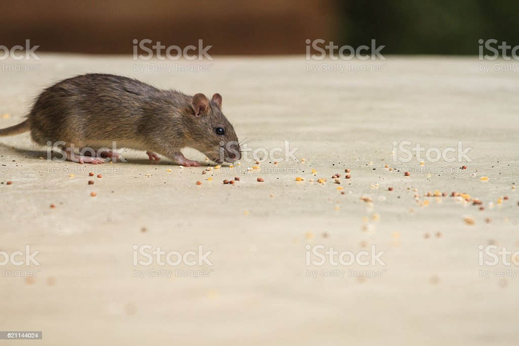 House mouse stock photo