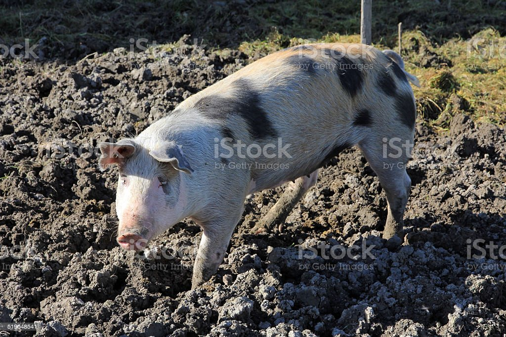 house pig stock photo