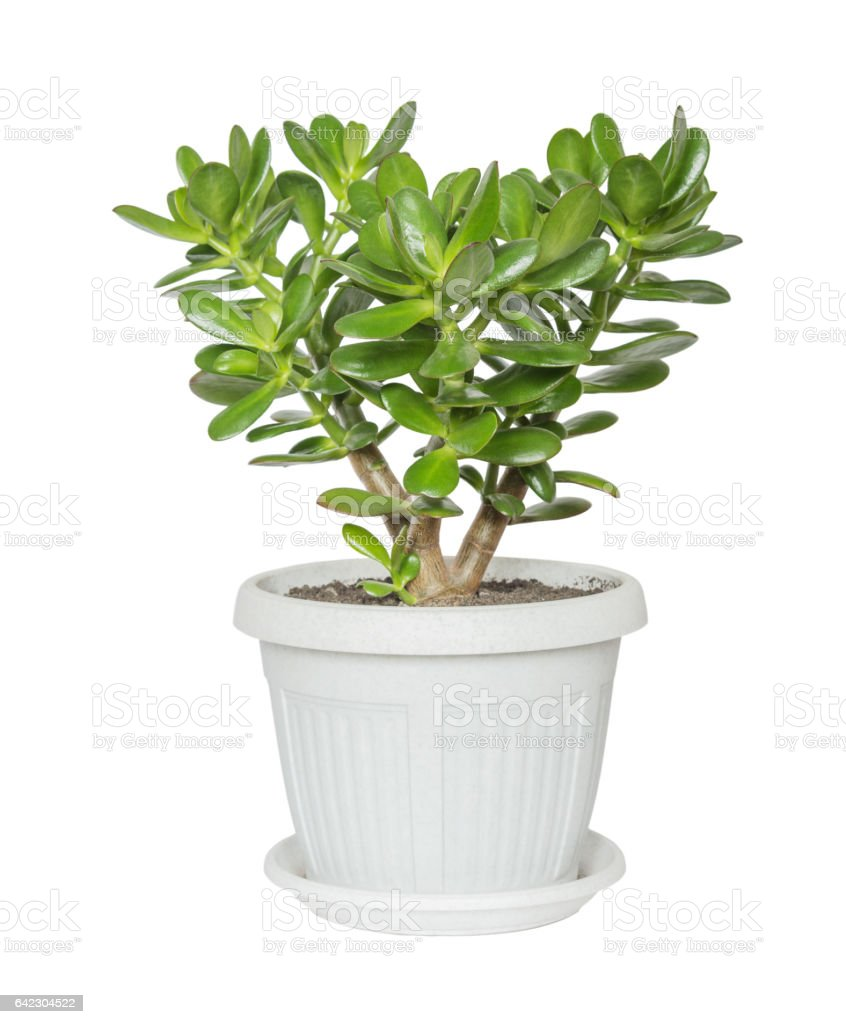 House plant Crassula stock photo