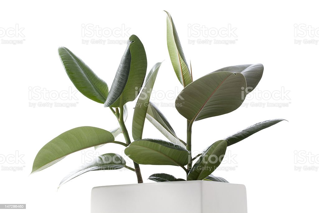 House Plant - Ficus stock photo