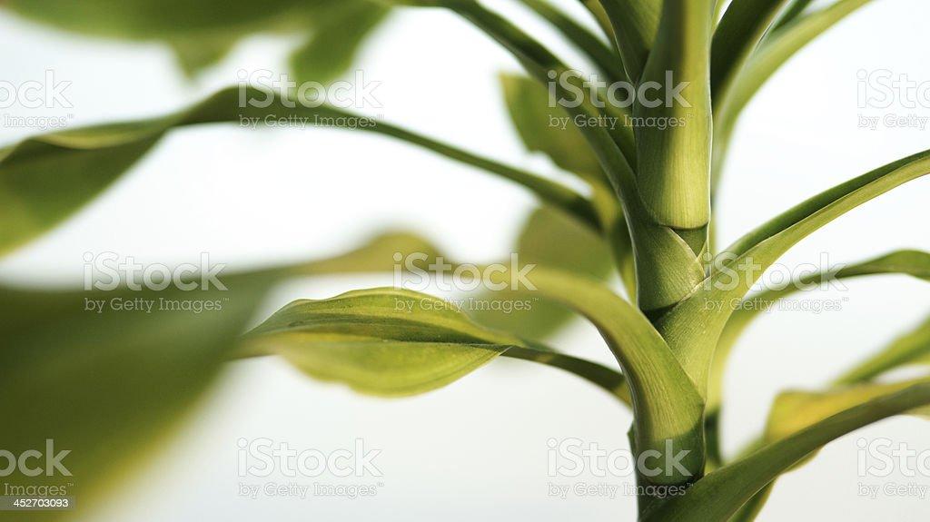 House plant stem detail - dracaena. stock photo