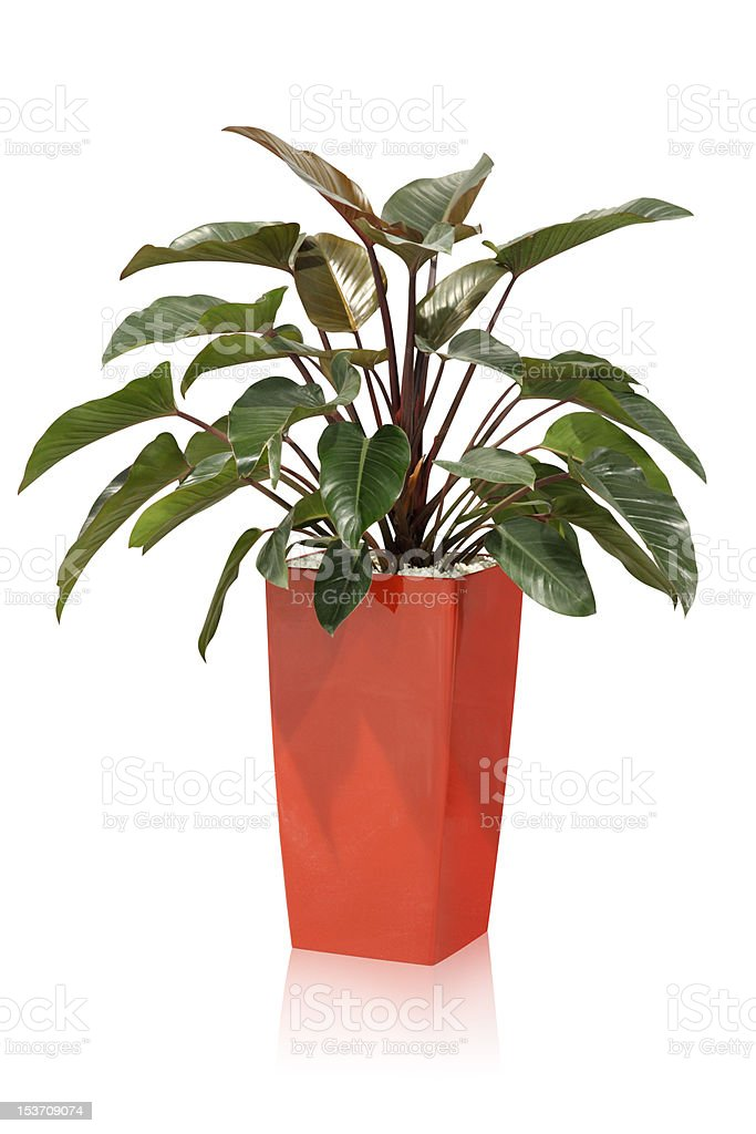 House plant – tropical stock photo