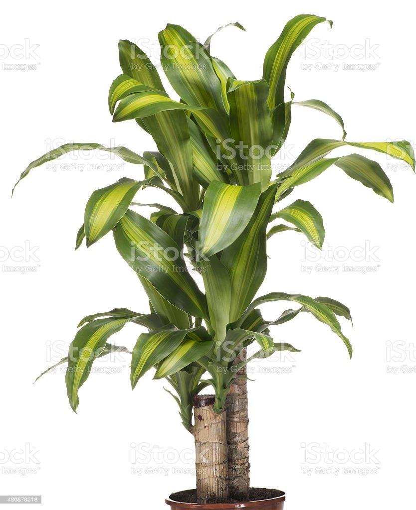 House Plant - Yucca stock photo
