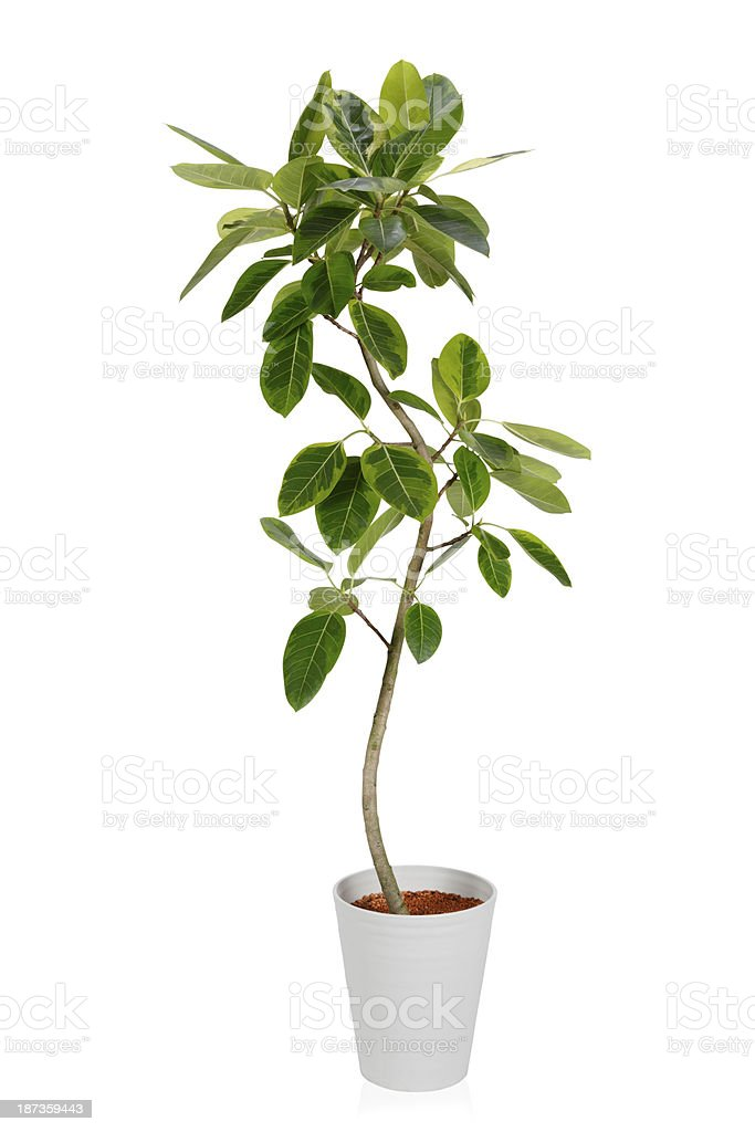 House PlantーFicus altissima Variegata stock photo
