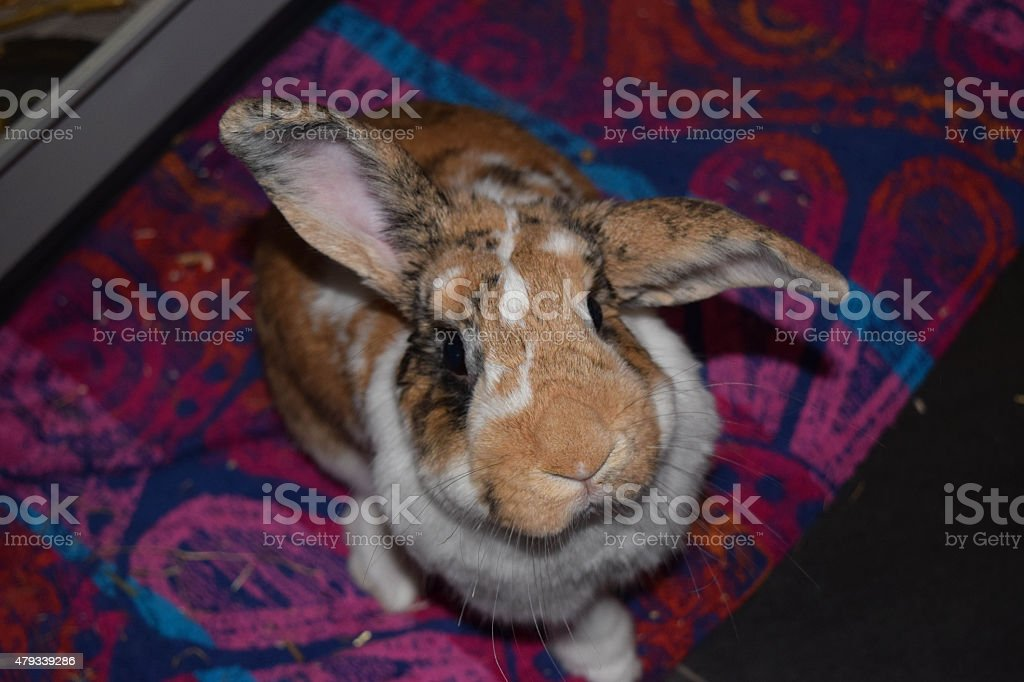 House rabbit stock photo