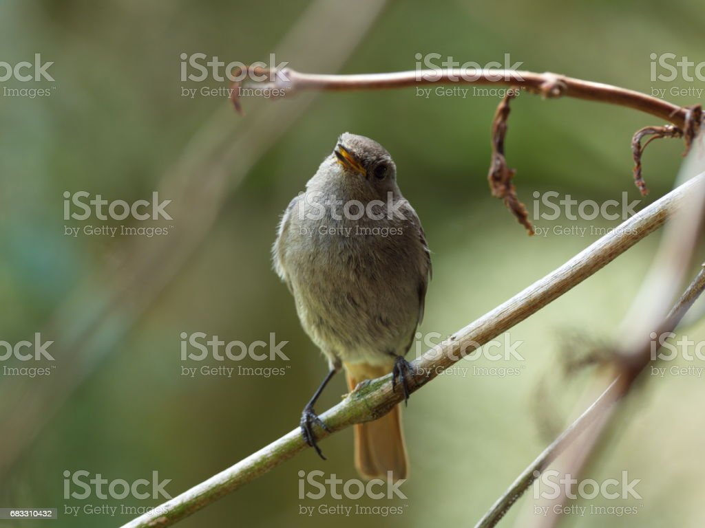 House redtail young bird stock photo
