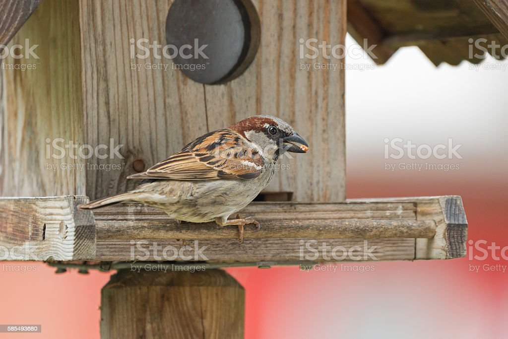 House Sparrow bird in gray brown with seed in beak stock photo