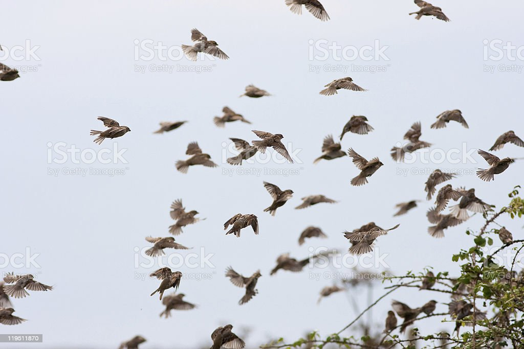 House Sparrow Flock Landing in Hedge stock photo