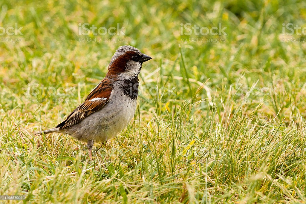House Sparrow foraging in green grass royalty-free stock photo
