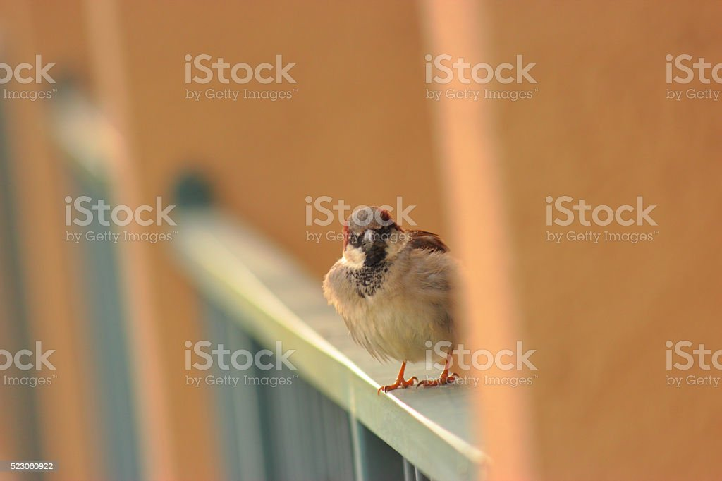 House Sparrow II stock photo