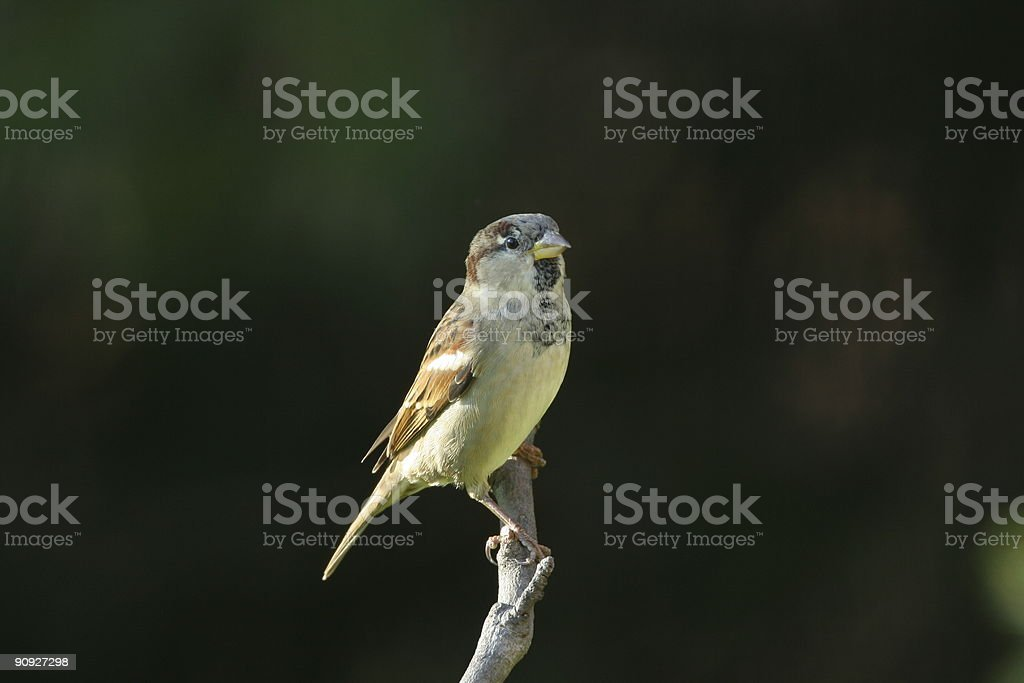 House sparrow in winter dress stock photo