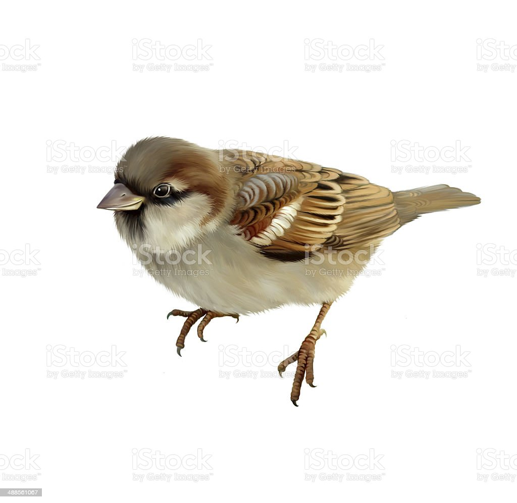 House Sparrow. Isolated on white background stock photo