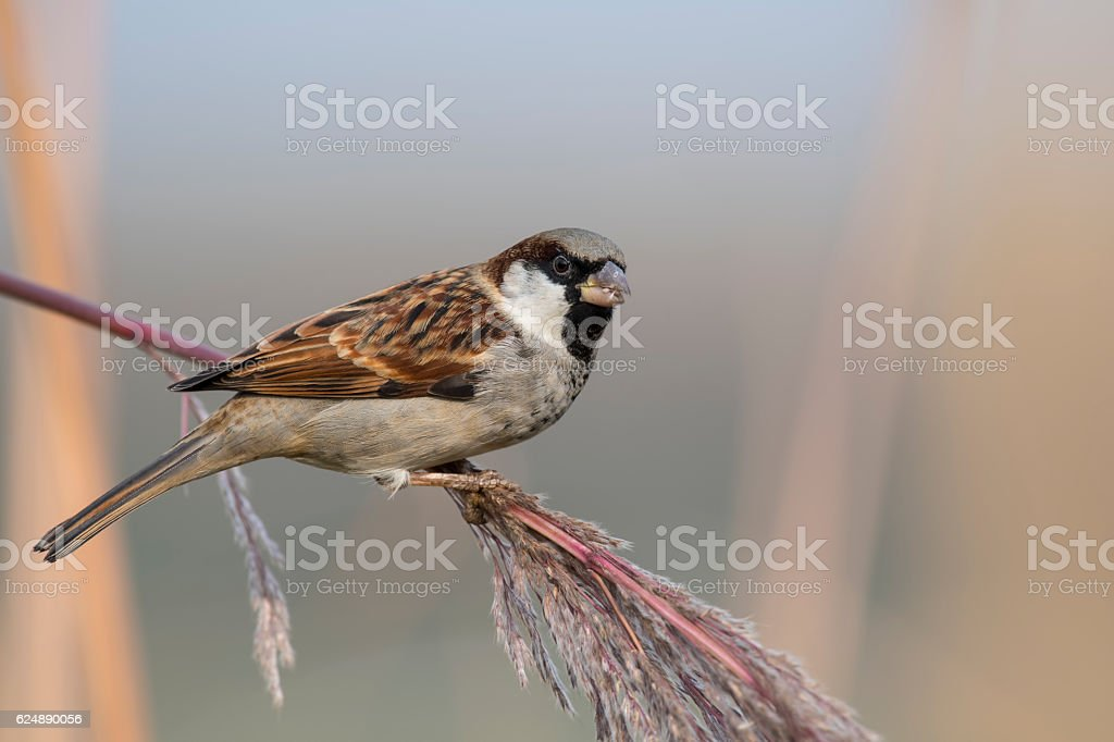 House sparrow male feeding in the morning stock photo