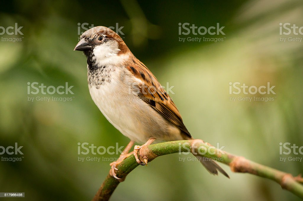 House sparrow on a branch stock photo