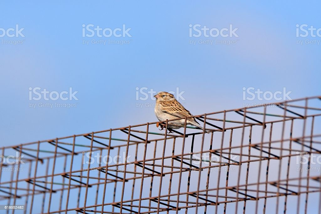 House Sparrow on a Cage stock photo