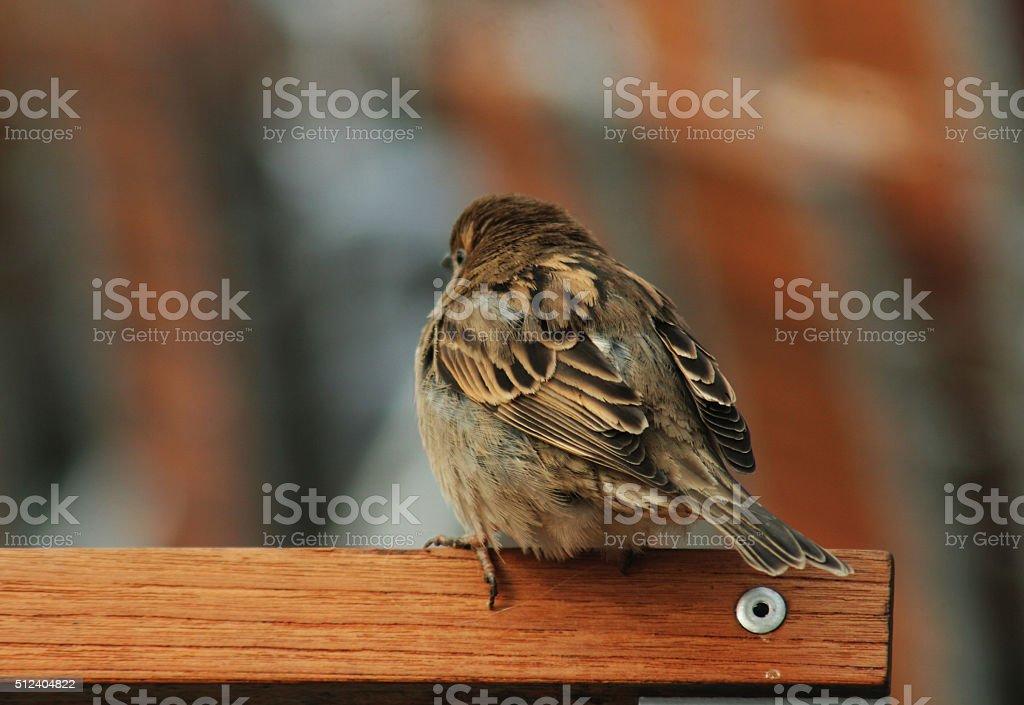 House Sparrow on a chair stock photo