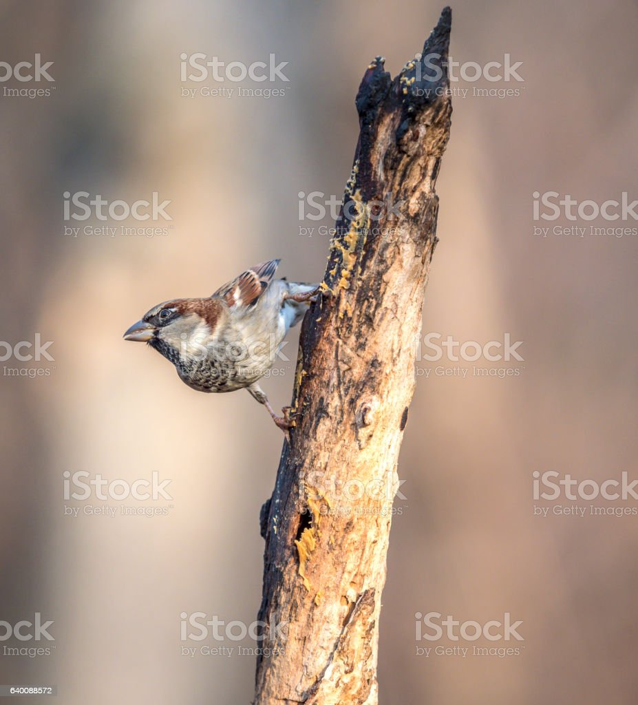 house sparrow on branch stock photo