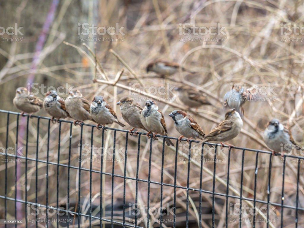 house sparrow on fence stock photo