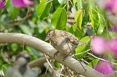 House Sparrow on Isolated Back ground