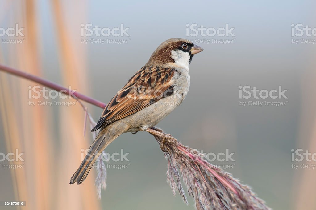 House Sparrow On Perch stock photo