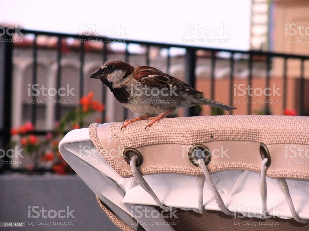 House sparrow on the table in Hawaii stock photo