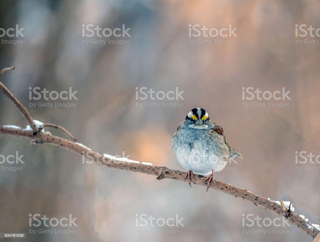 house sparrow opn branch stock photo