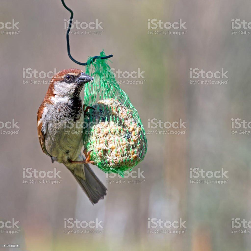 House sparrow, Passer domesticus. Feeding on fatball in garden. stock photo