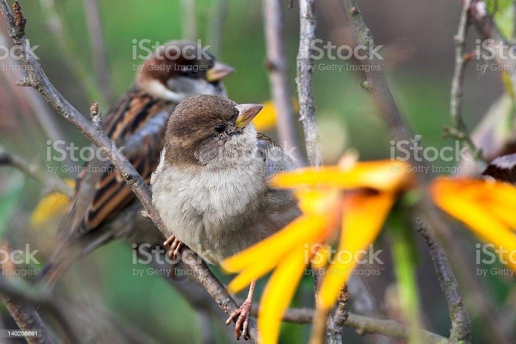 House sparrow (passer domesticus Lizenzfreies stock-foto