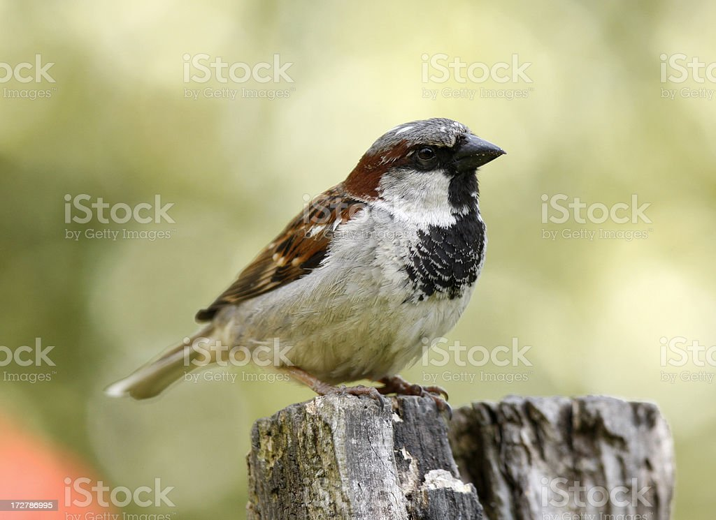 House Sparrow (Passer domesticus) stock photo