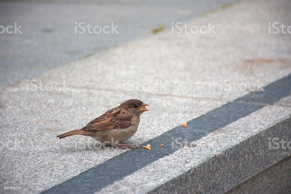 House sparrow royalty-free stock photo