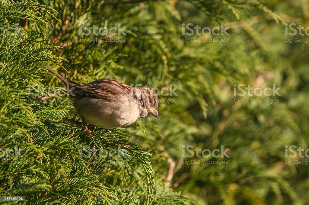 House Sparrow (Passer Domesticus) stock photo