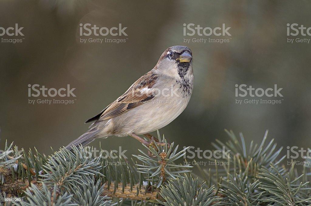 House Sparrow stock photo