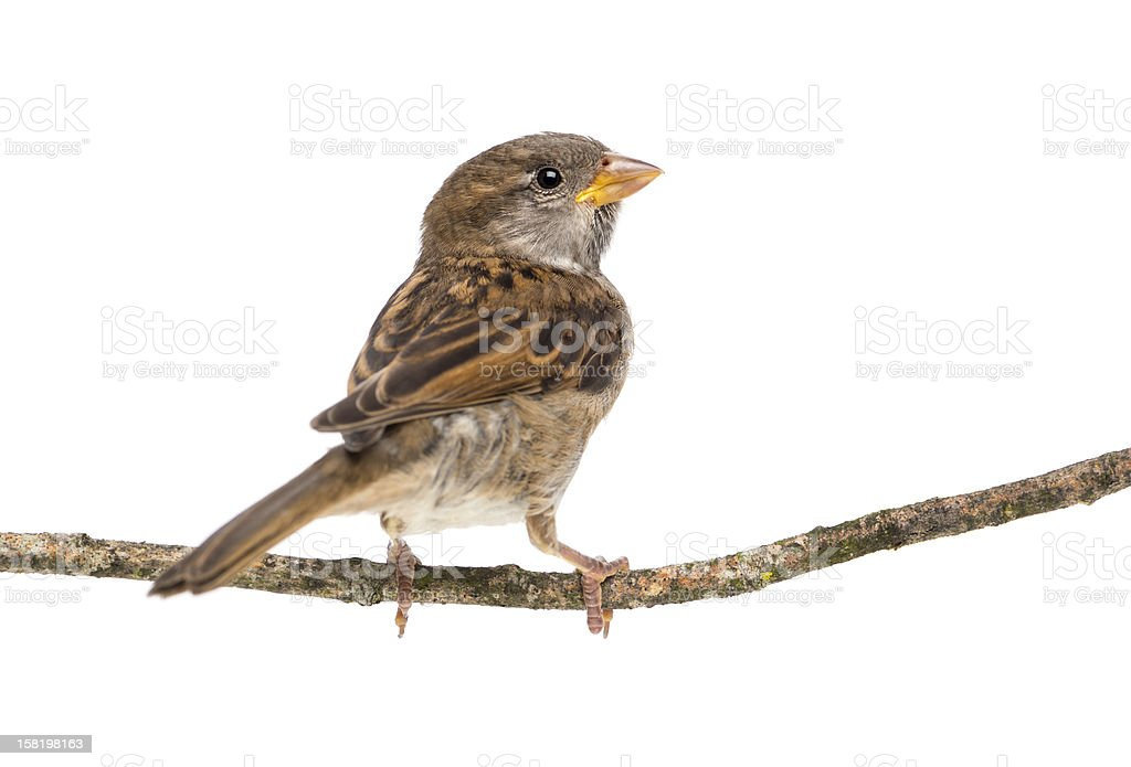 House Sparrow standing on branch against white background stock photo