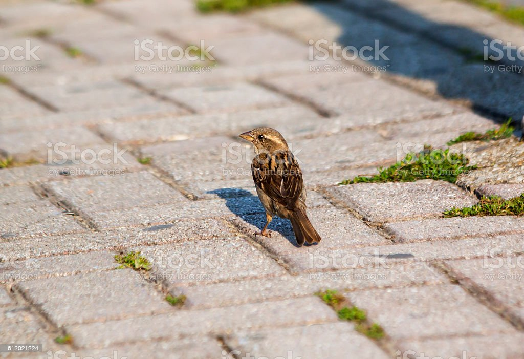 House sparrow (Passer domesticus) walking on pavement, paving fl stock photo