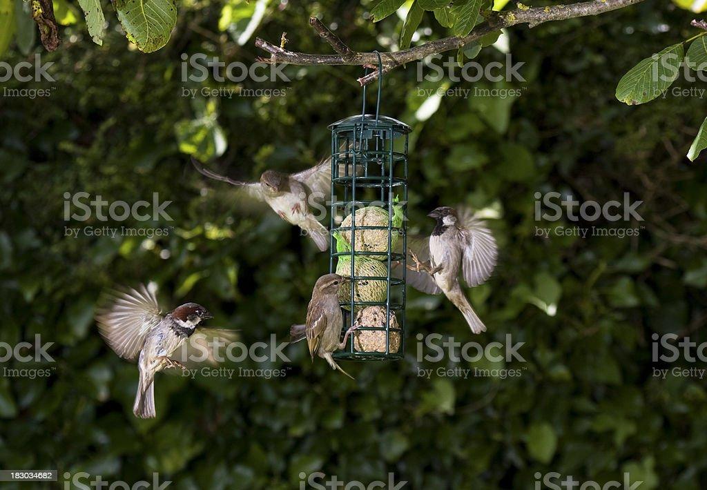 House Sparrows feeding on a garden feeder in the UK stock photo