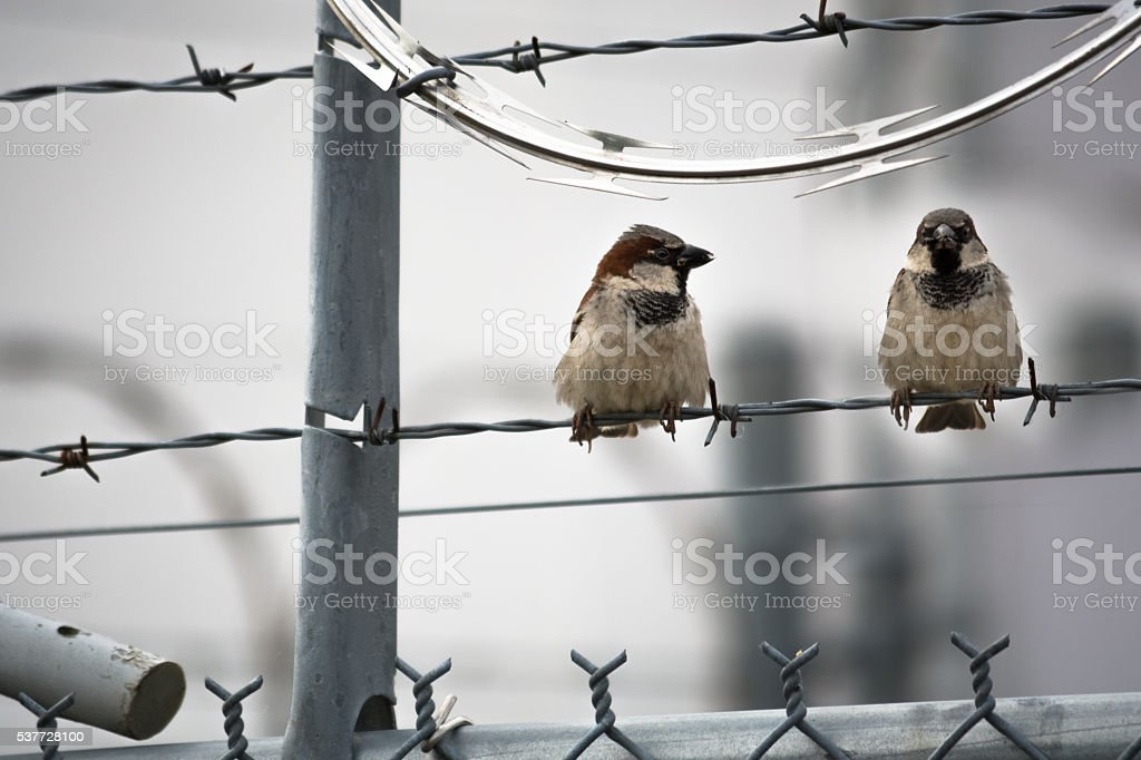 House Sparrows on Barbed Wire stock photo