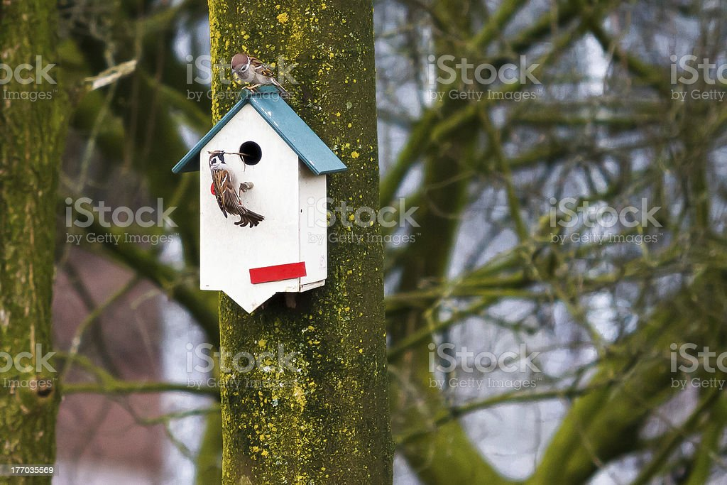 House sparrows ( Passer domesticus ) . royalty-free stock photo