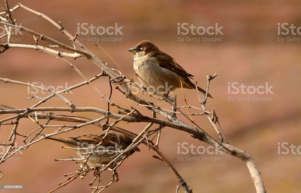 House Sparrows (Passer domesticus) stock photo