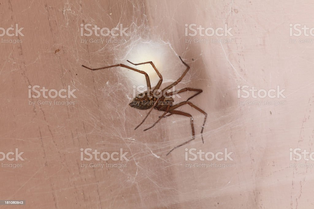 House spider royalty-free stock photo
