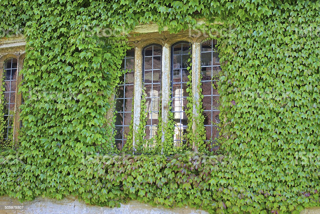 House wall / overgrown window, covered in Virginia creeper (Parthenocissus quinquefolia) stock photo
