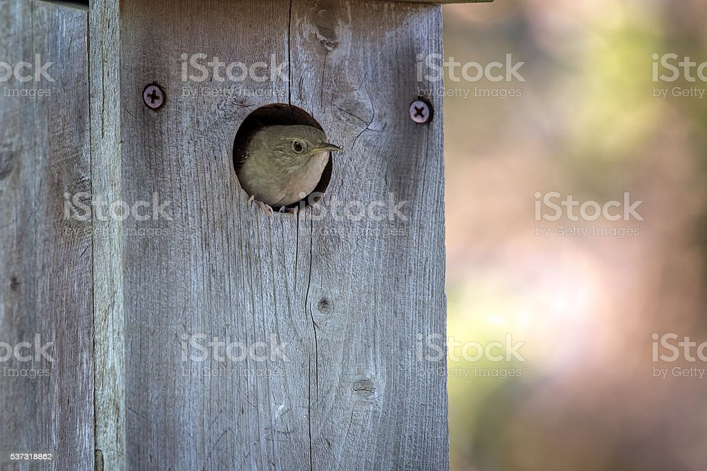 House wren comes out of bird house. stock photo