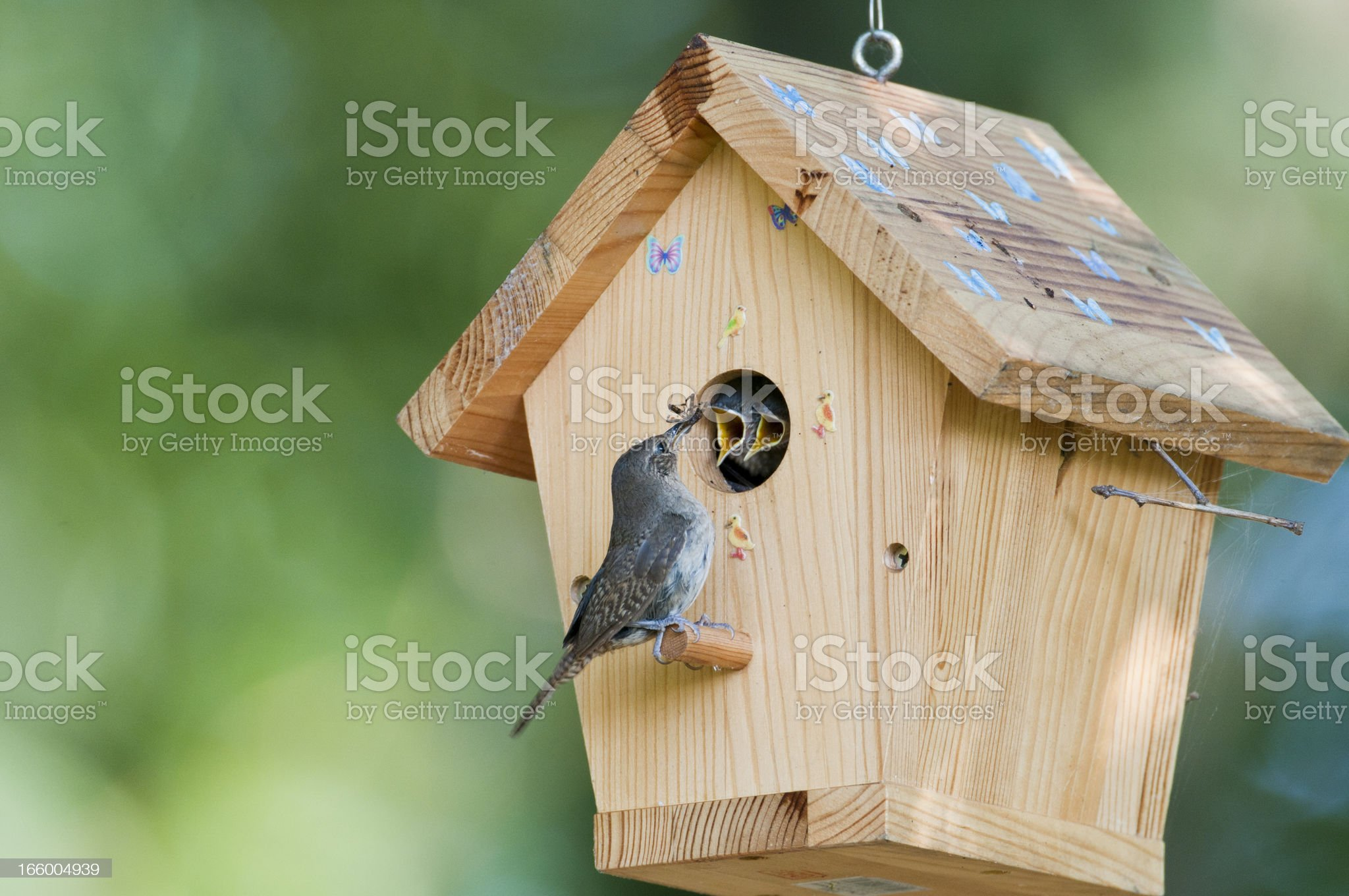 House wren feeds bug to babies in birdhouse royalty-free stock photo
