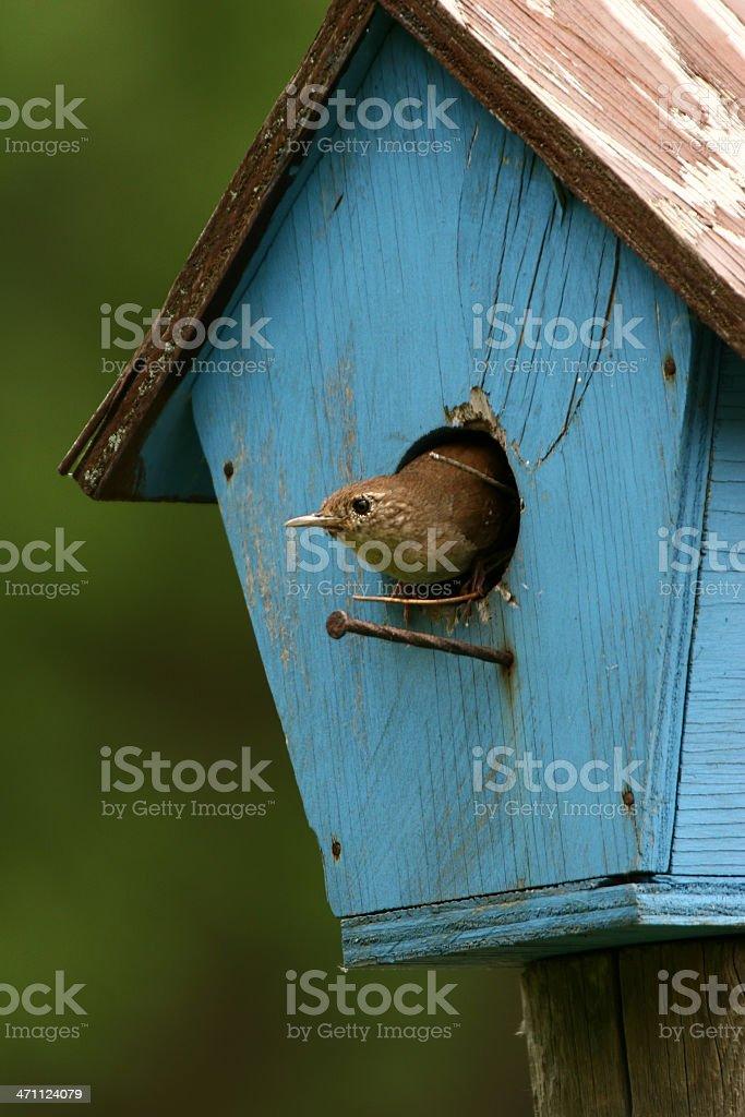 A house wren in a blue birdhouse stock photo